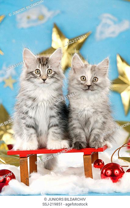 Norwegian Forest Cat. Two kittens in Christmas decoration with stars. Germany