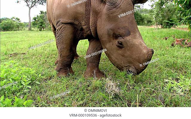 Close up of White Rhinoceros eating grass from ground