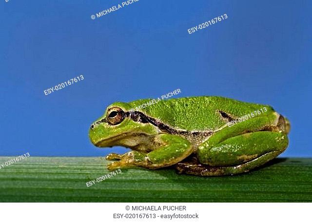 green frog II
