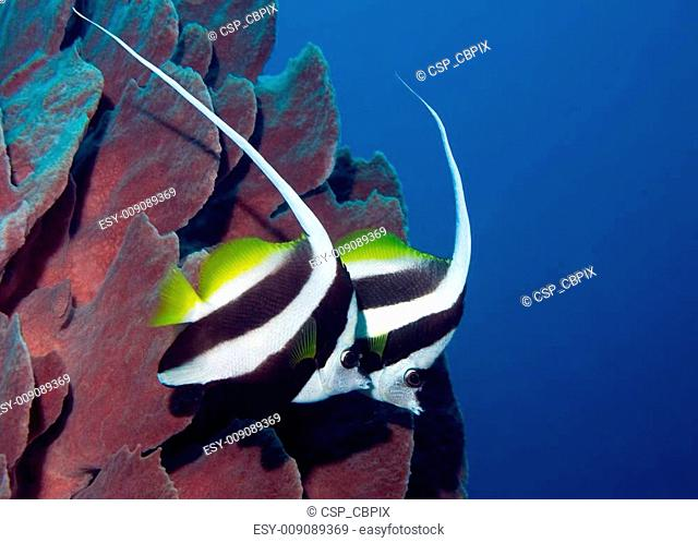 Two long finned bannerfish