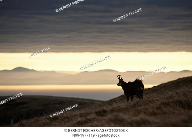 Chamois (Rupicapra rupicapra), in autumn, Black Forest (Germany) in the background, Vosges, France