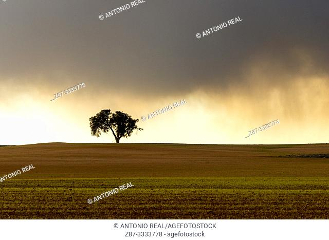 Cereal fields and Holm Oak (Quercus ilex) with storm clouds. Almansa. Albacete province, Castile-La Mancha, Spain