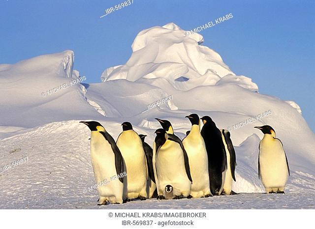 Emperor penguins with chick, Aptenodytes forsteri, Dawson-Lambton Glacier, Antarctica