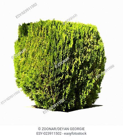 Green garden shrub