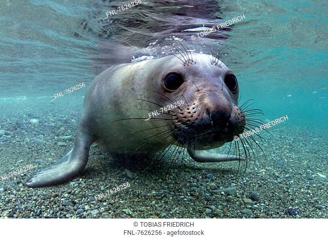 Young northern elephant seal (Mirounga angustirostris) in shallow water, Islas San Benito, Mexico, underwater shot