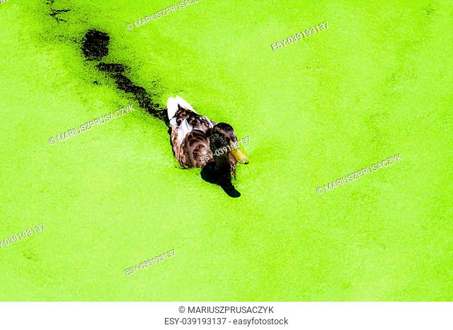 Duck swimming in a bright green lake