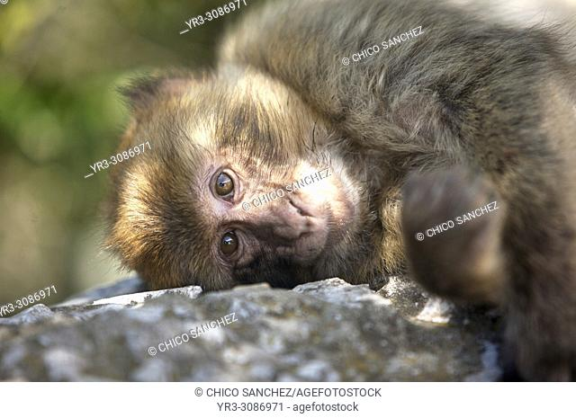 A Gibraltar Monkey or Barbary Macaque sits on a rock in Gibraltar, Great Britain, May 12, 2012. Gibraltar is a British overseas territory located in the Cadiz...