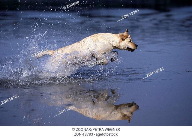 Labrador-Retriever, gelb, laeuft durch Wasser  /  Labrador Retriever, yellow, running through water