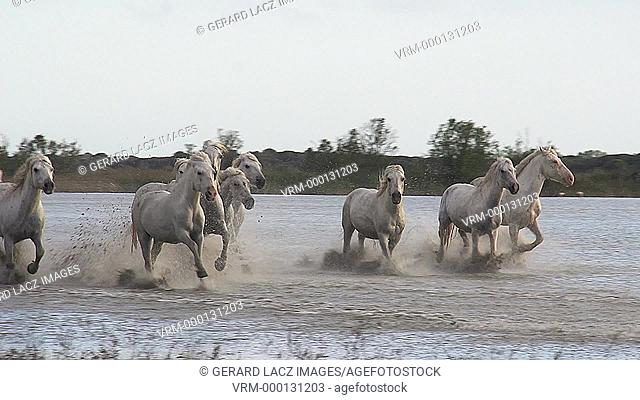 Camargue Horse, Herd Galloping through Swamp, Saintes Marie de la Mer in The South of France, Real Time