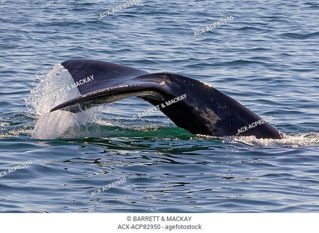 North Atlantic Right Whale fluke, (Eubalaena glacialis), off Grand Manan Island, Bay of Fundy, New Brunswick, Canada