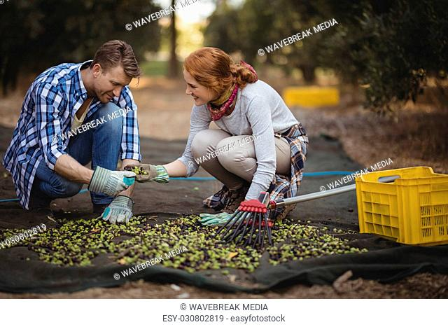 Young couple working at olive farm