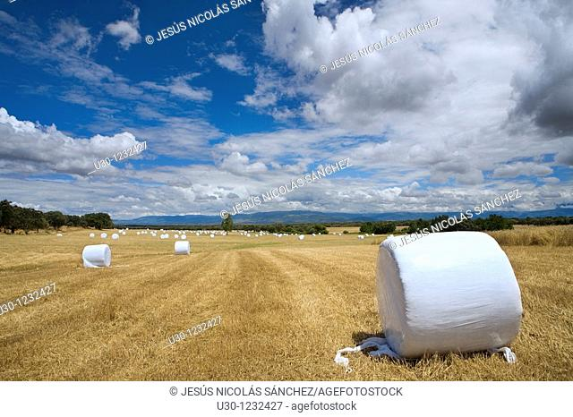 Straw bales in a field of grain next to de Monfrague National Park  At the background, we can see the Sierra De Gredos Regional Park  Casatejada  Caceres