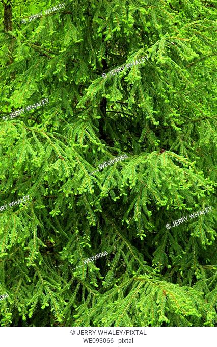 Evergreen Tree, Spring Images, East Tennessee