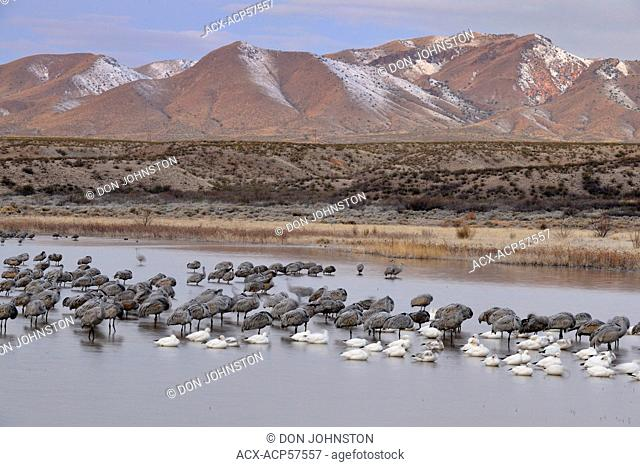 Sandhill crane Grus canadensis Flock roosting in a pond, Bosque del Apache NWR, New Mexico, USA