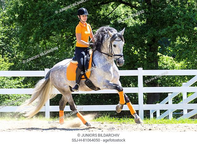 Pure Spanish Horse, Andalusian. Rider on juvenile gray stallion galloping on a riding place. Austria