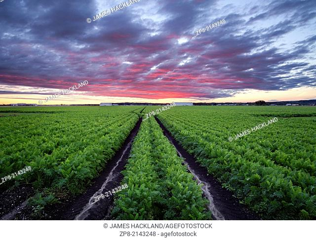 A mature field of carrots in the Holland marsh in Bradford West Gwillimbury, Ontario, Canada