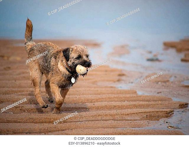 A Border Terrier On The Beach With