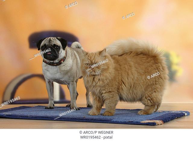 Pug, and, Persian, Cat