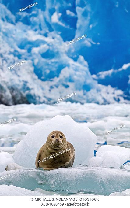Harbor seal Phoca vitulina hauled out on ice calved from the South Sawyer Glacier in the Tracy Arm-Ford's Terror Wilderness area, Southeast Alaska, USA