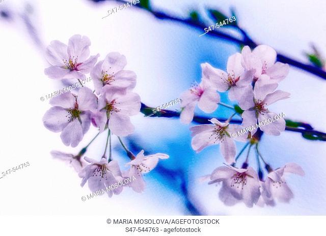 Cherry Blossom. Yoshino Cherry. Prunus x yedoensis. April 2006. Maryland, USA