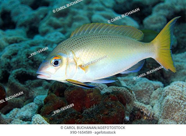 A Monogram Monocle Bream, also known as Rainbow Monocle Bream, Scolopsis monogramma, with Bluestreak Cleaner Fish, Labroides dimidiatus  Tulamben, Bali