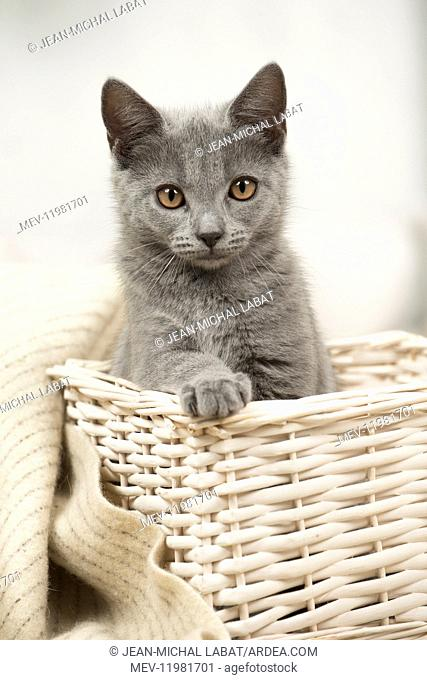Cat - Grey Chartreux kitten indoors