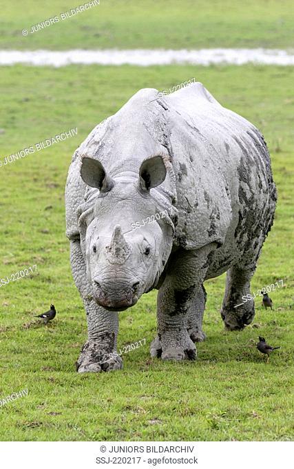 Indian Rhinoceros (Rhinoceros unicornis). Adult and Jungle Mynas (Acridotheres fuscus). Kaziranga National Park, India