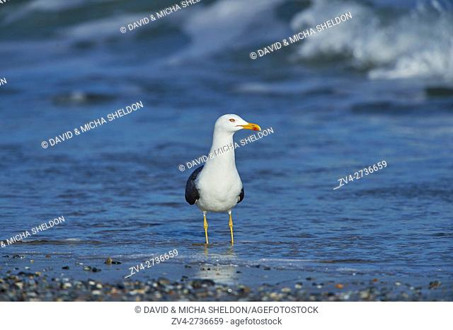 Close-up of Yellow-legged gull (Larus michahellis) in spring (april) on Helgoland a small Island of northern Germany