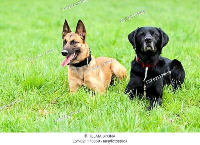 Malinois und Labradormix