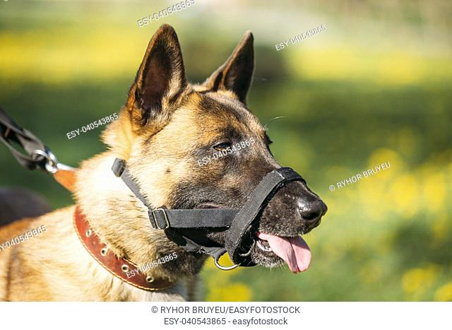 Close Up Portrait Of Malinois Dog With Muzzle. Belgian Shepherd Dog On Green Grass Blurred Background