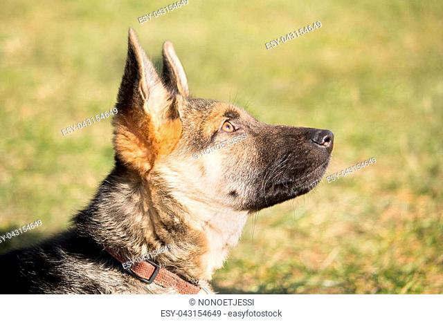 a portrait of a German shepherd puppy