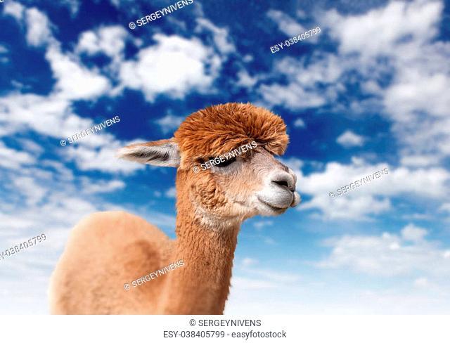 Lama animal head agaisnt blue sky background
