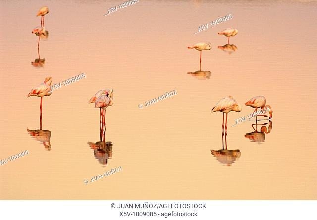Flamingos (Phoenicopterus ruber roseus) at dawn. Marismas del Odiel Natural Park. Huelva. Andalucia. Spain