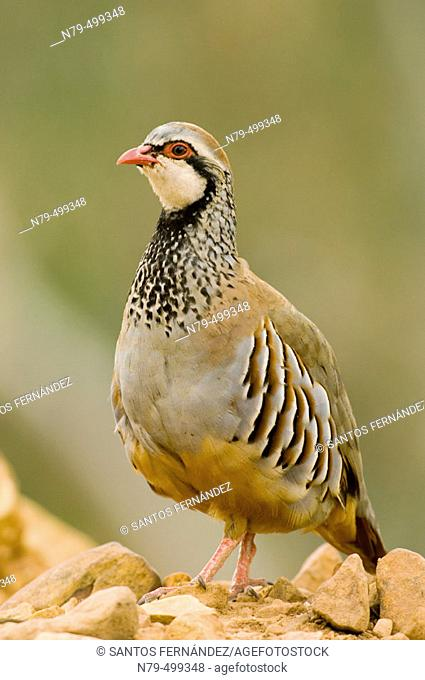 Red-legged Partridge (Alectoris rufa). Montes de Puertollano, Ciudad Real, Spain