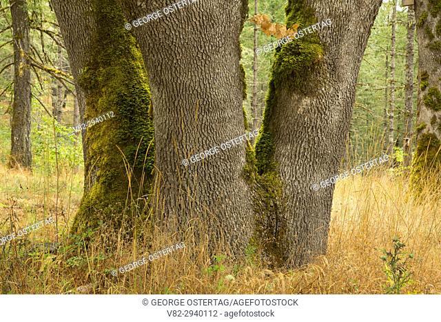 Oregon white oak, Miller Woods Conservation Area, Yamhill County, Oregon
