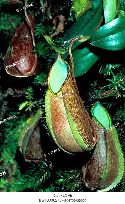 pitcher plant (Nepenthes tentaculata), tubular shaped leaves, Malaysia, Borneo, Mount Kinabalu