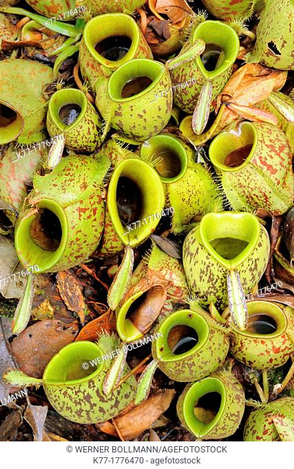 Pitcher Plant Nepenthes spec , Tanjung Puting National Park, Province Kalimantan, Borneo, Indonesia