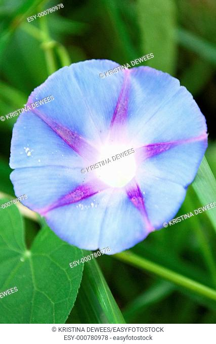 A light blue and purple Morning Glory flower