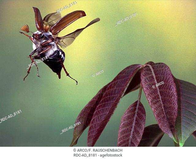 Cockchafer Maybug in flight Melolontha melolontha