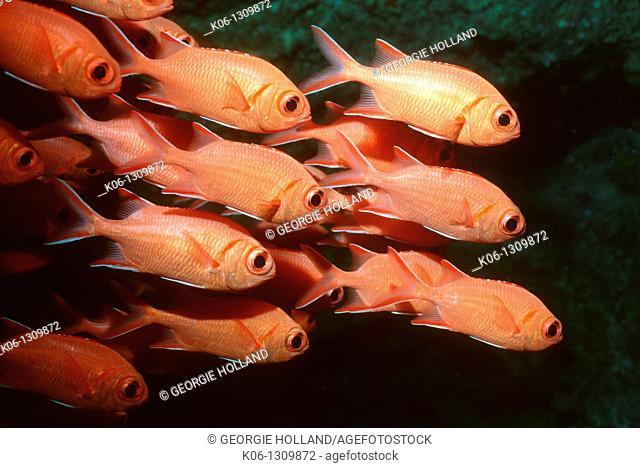 Bigscale soldierfish Myripristis berndti school  Rinca, Komodo National Park  Indonesia
