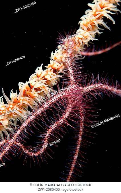 Dark Red-spined Brittle Star (Ophiothrix pururea) on Whip Coral near Alor in Indonesia