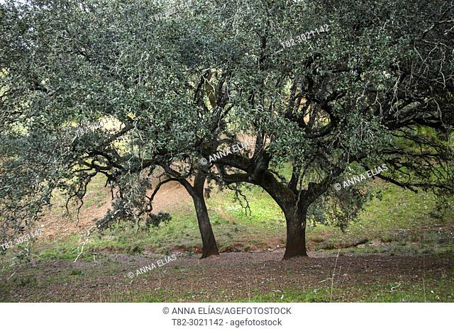 forest of centenary oaks in the pasture, Andévalo, Huelva, Andalucia, Spain