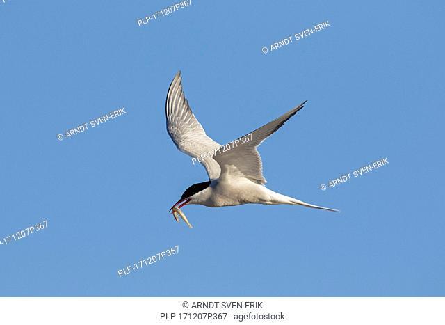 Arctic tern (Sterna paradisaea) with sand eel / sandeel in beak flying against blue sky