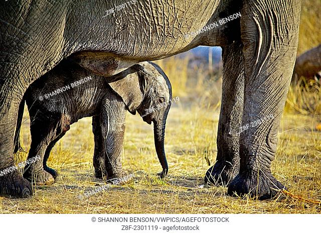 African bush elephants are the largest living terrestrial animals, being up to 3.96 m (13.0 ft) tall at the shoulders (a male shot in 1974)