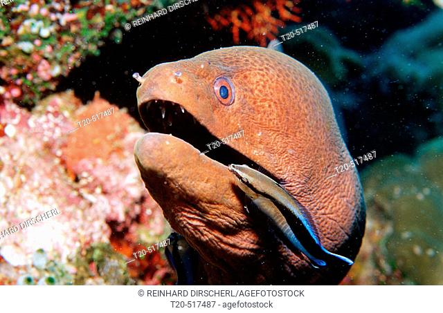Cleaner wrasse cleaning Yellow-margined moray, Labroides dimidiatus, Gymnothorax flavimarginatus. Indian Ocean, Ari Atoll. Maldives Islands