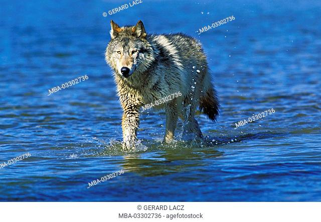 North American grey wolf, Canis lupus occidentalis, adult animal in the water, Canada