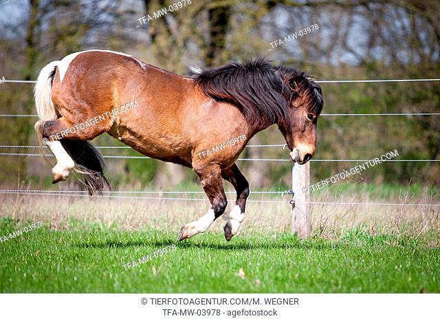 kicking Icelandic horse