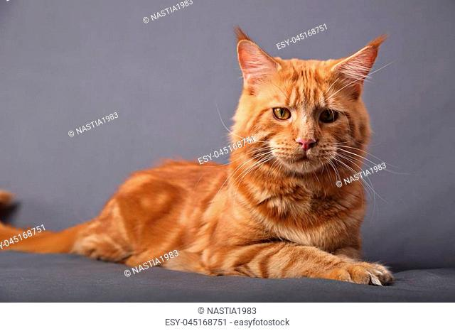 Male red solid maine coon cat lying with beautiful brushes on the ears with calm looking on grey background. Closeup beautiful portrait