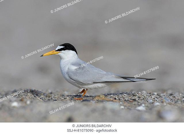 Little Tern (Sterna albifrons). Adult standing, seen side-on. Germany