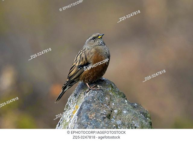Alpine accentor, Prunella collaris, Kedarnath Wildlife Sanctuary, Chopta, Uttarakhand, India